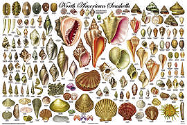 North American Seashells