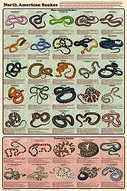 North American Snakes